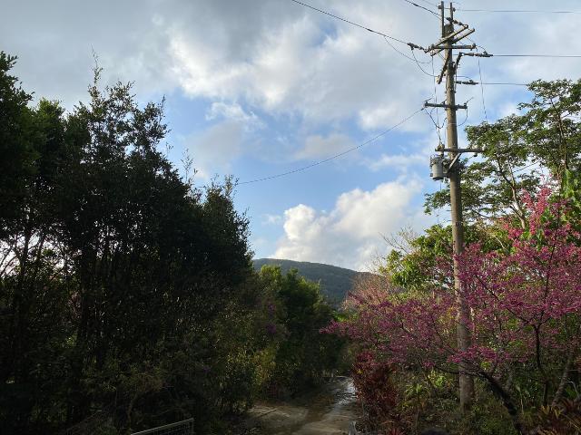 2021年沖縄にさくらが咲きました!さくらの種類は「ヒカンザクラ」といいピンク色です♪